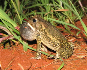 Bufo fowleri, calling, Wake Co, ALB11857