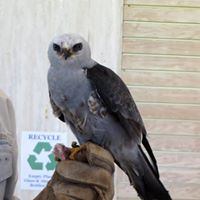 Lower Savannah River Alliance's 5th Annual Swallow-tailed Kite Outing