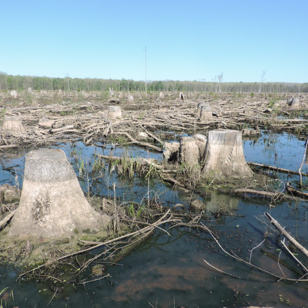 Remaining tree stumps after a clear-cut forested wetlands.